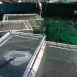 Spawning cages with fish in them